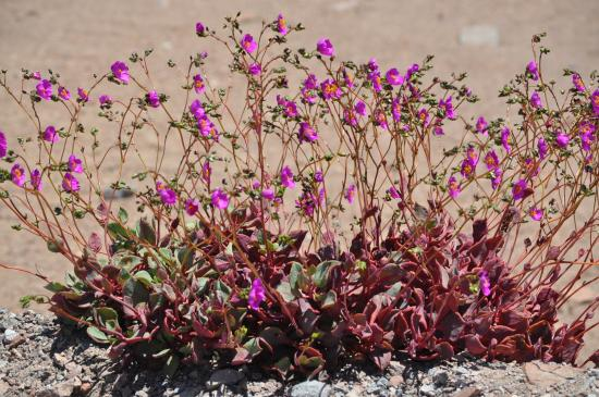 blumen in der atacamaw ste chile bild von atacama w ste chile tripadvisor. Black Bedroom Furniture Sets. Home Design Ideas