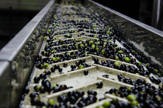 Cantalupo, อิตาลี: Oliva appena raccolta pronta per la molitura