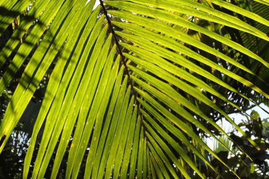 Остров Праслен, Сейшельские острова: Vallee de Mai - Palmboom in zonlicht