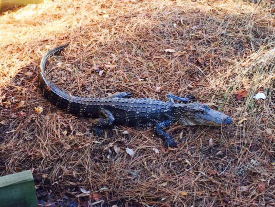 Hilton Head Island Bike Trails: Alligator next to the HHI Bike Trail