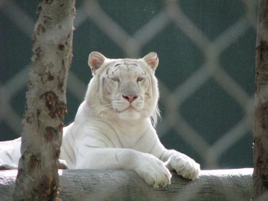 White Tiger Picture Of Siegfried Roy 39 S Secret Garden And Dolphin Habitat Las Vegas