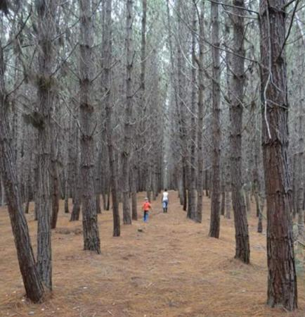 La Cumbre, Colombie : Bosque de pinos en Pavas