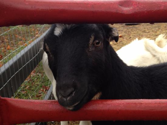 The Inn at Black Star Farms: Visiting the goats