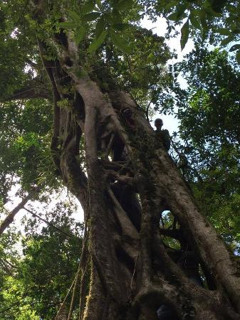Monteverde, Costa Rica: Climbing fig trees at Ficus Trails is the best