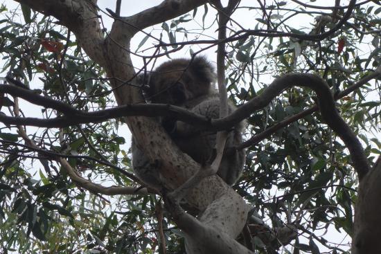 picture of kennet river koala walk kennett. Black Bedroom Furniture Sets. Home Design Ideas