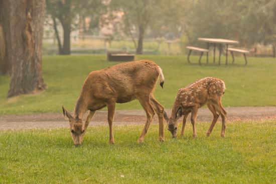 Pine Near RV Park & Campground: Bambi and mom