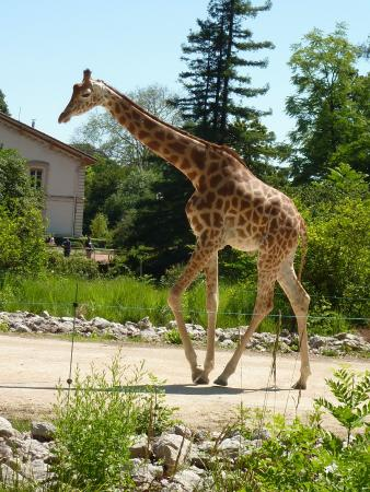 Une girafe dans la savane africaine picture of parc de for Prix d une girafe a poncer