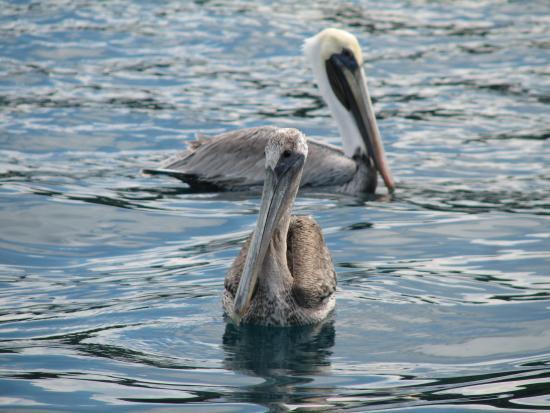 Hotel ManGaby: Pelican Pals Near Bald Head