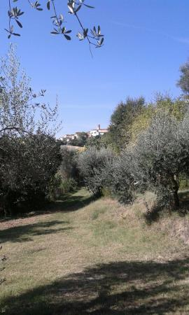Monte San Vito, Italia: tra gli ulivi....