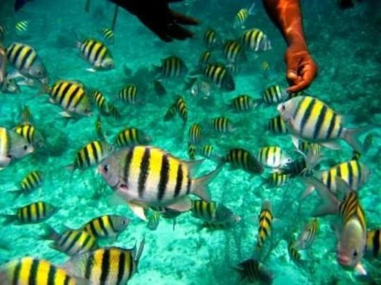 Reef Roamer Snorkel: Sargent Majors