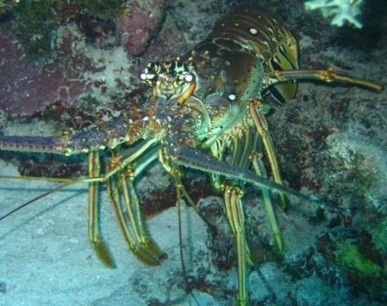 Reef Roamer Snorkel: Lobster