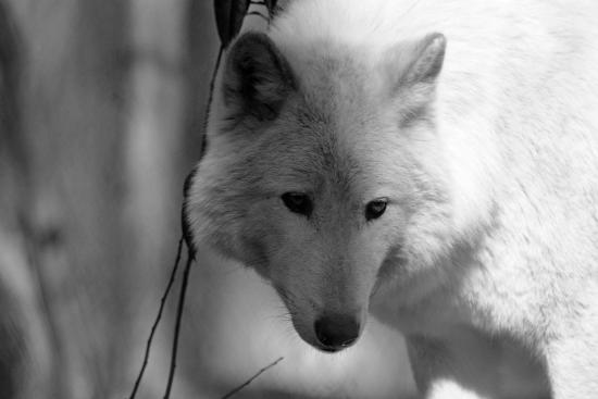 Κολούμπια, Νιού Τζέρσεϊ: Wolf