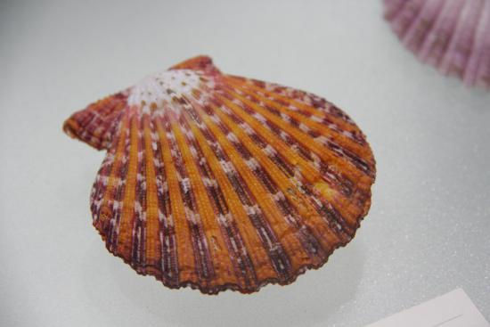 Nishinomiya Shell Museum: 綺麗な貝