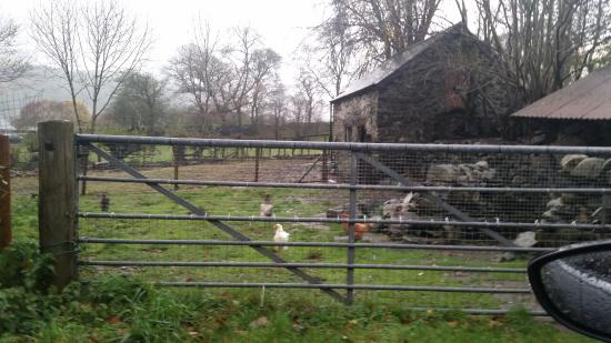 Parc Grove Bed and Breakfast: Hen house at Parc Grove - free range eggs provided to guests