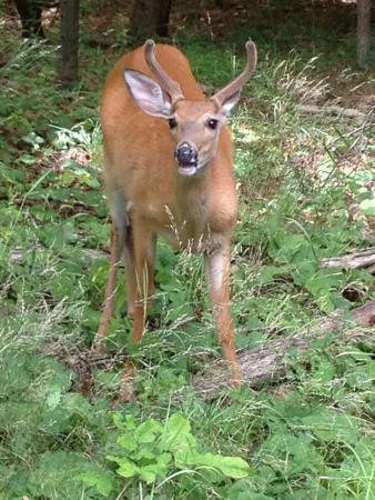 Inlet, NY: Deer on our walk into town