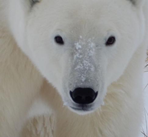Dymond Lake Ecolodge: Polar bear