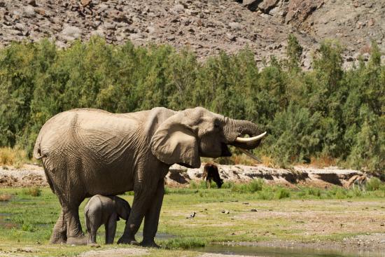 Purros Camp: Dessert elephants