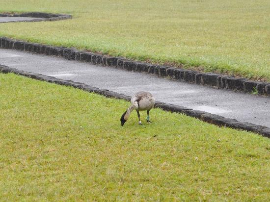 ハワイ島 マイカイ オハナ ツアー, ネネ(ハワイ州の州鳥)
