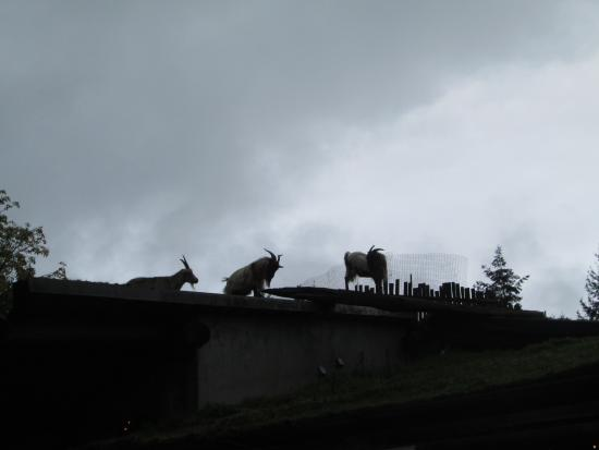 Coombs, Canada: great goats