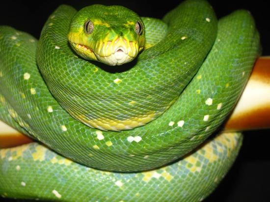 Exeter, Nueva Hampshire: Green tree python on display at Prehistorix