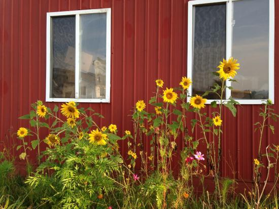 Munfordville, Κεντάκι: Sunflowers