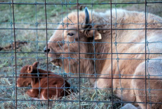 Gentry, AR: White buffalo with her 1 week old baby