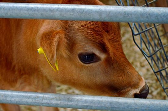 Borth, UK: Calf
