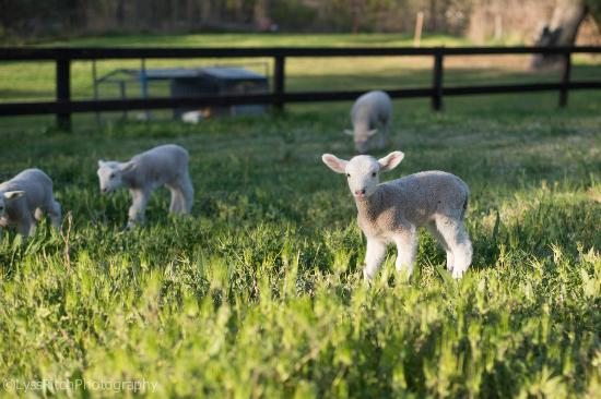 O'Connell, Australia: Baby lambs to play with
