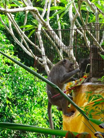 Alam Indah: Monkey stealing offerings