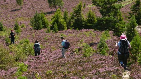 Boat of Garten, UK: Hiking through the glorious purple heather-clad landscape, Cairngorms