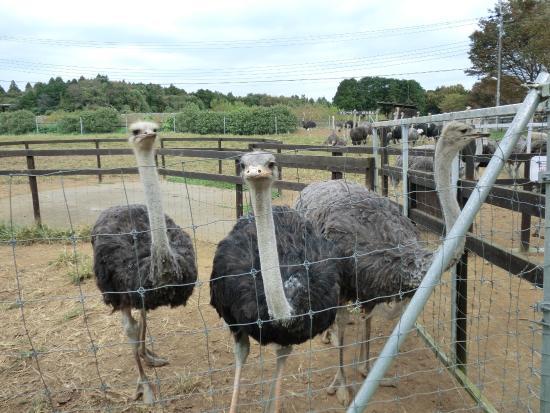 Ostrich Kingdom Ishioka Farm: ダチョウ