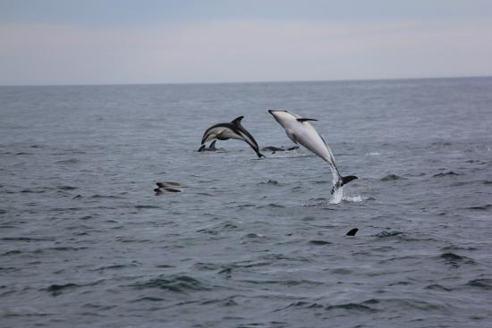 Quality Suites Kaikoura : one of the activities you can do in Kaikoura, dolphin playing for a few min.  WOW!