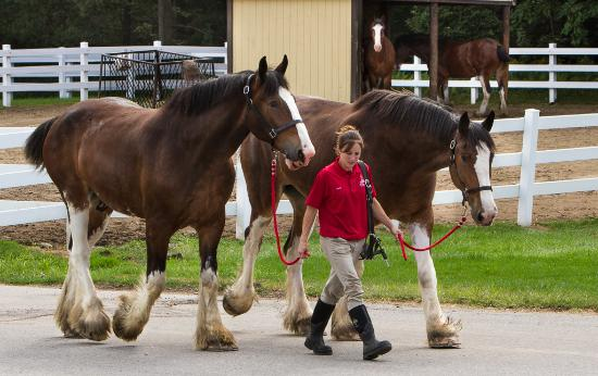 Budweiser Brewery Tours: Clydesdales coming for a bath