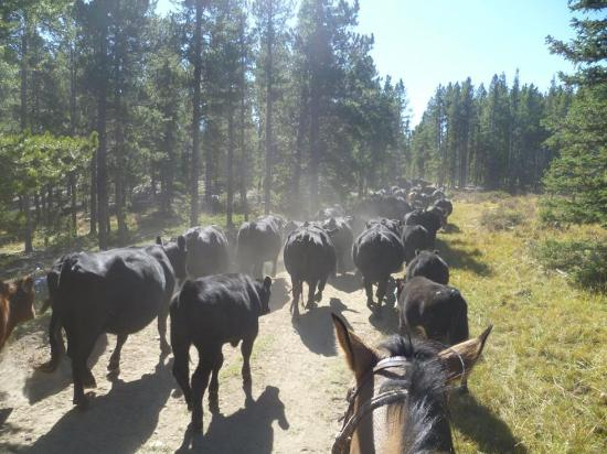 Buffalo, WY: Cattle Drive