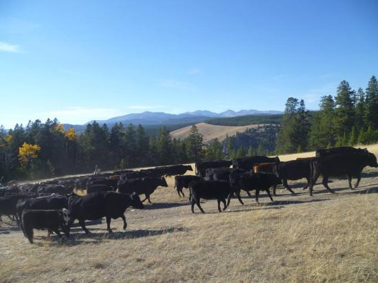 Buffalo, WY: pushing the cattle