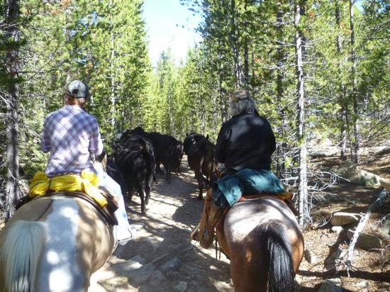 Klondike Ranch: pushing the cattle