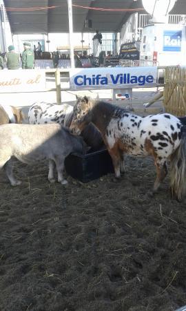 Mini horse foto di fiera di verona verona tripadvisor for Fiera di verona