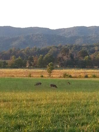 Townsend, TN: deer playing in the fields