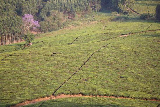 Thyolo, Malawi: Blick über die Teeplantage