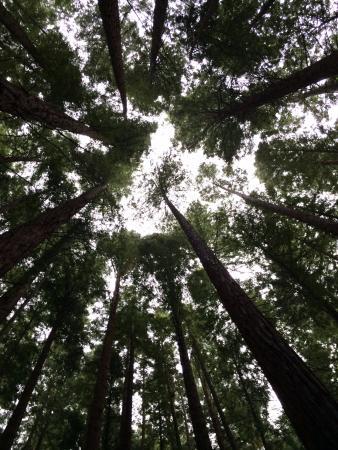 Orena, Spanyol: Bosque de Secuoyas cerca de Comillas