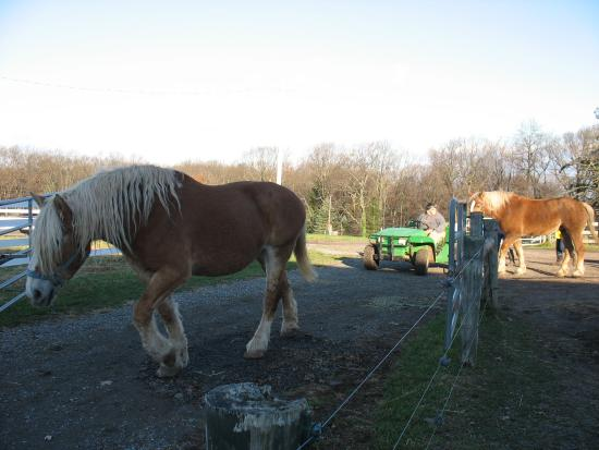Coopersburg, PA: The draft horses, Jennifer, Kiwi and Mack walking down to pasture in the morning.