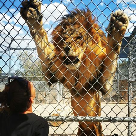 The fence picture of lion habitat ranch henderson tripadvisor