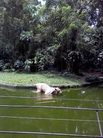 Zoo Negara: white tiger