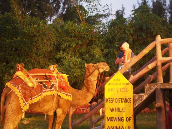 Camel Ride Picture Of Chokhi Dhani Chennai Madras Tripadvisor