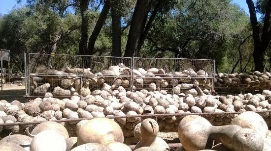 Fallbrook, Californien: Hundreds, if not thousands, of gourds abound!