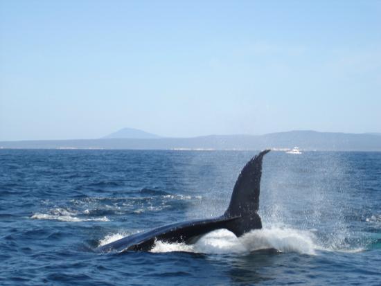 The Peninsular Merimbula : Whale watching
