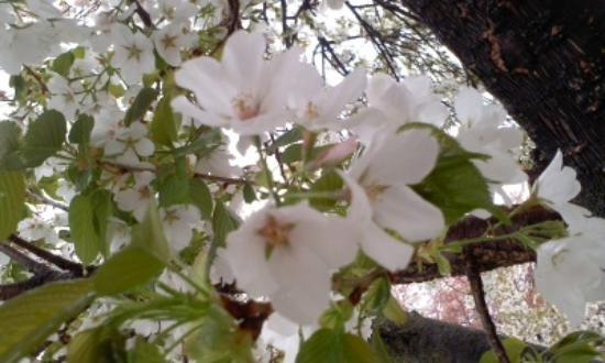 Shingentei Park : 綺麗な桜を見ることができました