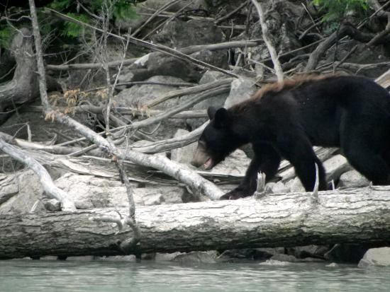 Blue River, Canada: Black Bear