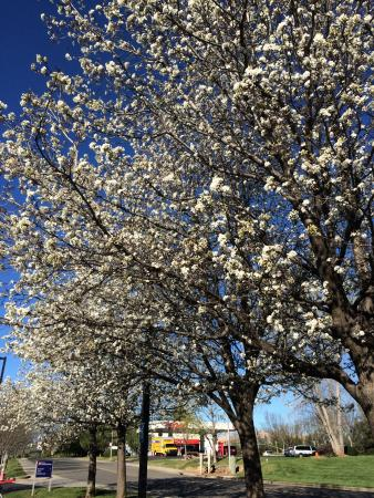 Holiday Inn Express Reading: Blossoms on all the trees