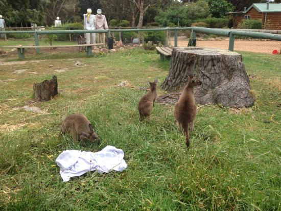 Baby kangaroos/Joey - Picture of Sunflowers Animal Farm and